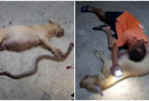 Lindungi Rumah Majikannya Dari Ular Kobra, Anjing Pitbull Rela Mati