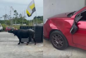 Mobil Pria Malaysia Ini Penyok Dihantam Kerbau Liar