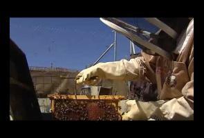 Video: Sebanyak 80.000 Lebah Bersarang Di Balik Dinding Ini
