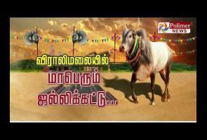 Video: Ikut Gulat Lembu Jantan, 2 Orang Penonton Tewas