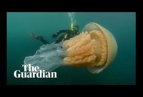 Video: Penyelam Ini Temukan Ubur-Ubur Raksasa Seukuran Manusia