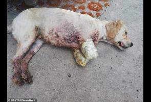 2 Kaki Anjing Turki Diamputasi Karena Disangka Serang Ayam Tetangga