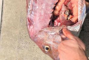 Nelayan Australia Ini Temukan Ikan Kakap Yang Telan Uang Aud 20